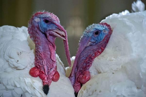 Nos Estados Unidos, a data é comemorada na quarta quinta-feira de novembro. Normalmente, é realizado um jantar - que tem o peru como prato principal - para reunir a família (Nicholas KAMM/AFP Photo)