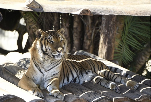 O tigre é um das atrações que a criançada mais admira (Ed Alves/CB/D.A Press)